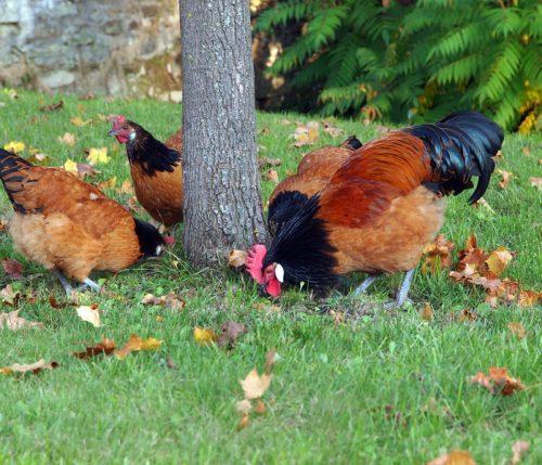 Schutznetz für Hühnervögel