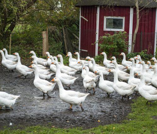 Schutz vor eindringenden Vögeln Vogelgrippe Geflügelpest